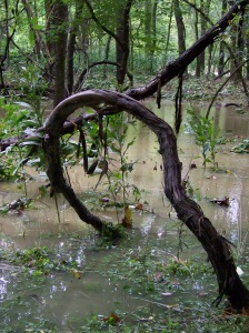 Flood waters of the Hinkson Creek surround trees and heavy vines on Greenbelt property.