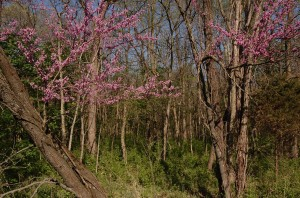 Redbuds at edge of woodland area in Hinkson Greenbelt Land Trust's  Creek Nature Preserve