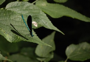 Emerald Jewelwing damselfly at Spring Valley Nature Preserve land trust site