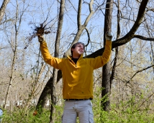 University of Missouri students learn that part of the invasive's success is its tenacious root structure.