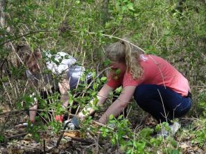 volunteers work to remove stubborn honeysuckle