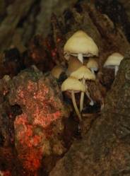 mushrooms for glt pg